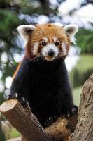 Panda rosso foto