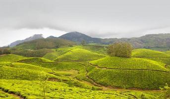 piantagione di tè, raccolto di tè foto