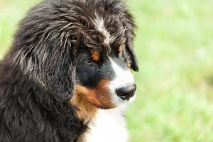 cane da montagna bernese