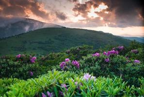 rododendro roano fioritura estiva 2 foto