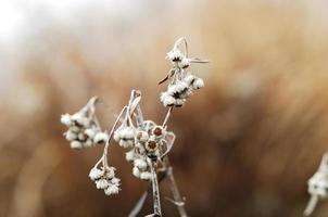 la pianta alpina che è diventata bianca.