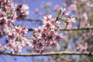sakura viste della natura rosa a phuromro loei, thailandia foto