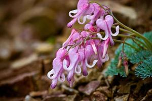 dicentra giapponese foto