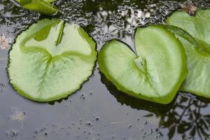 foglie di loto sullo sfondo a forma di cuore