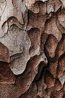 struttura in legno. albero di pino macro