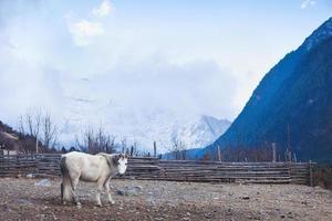cavallo nelle montagne dell'Himalaya foto