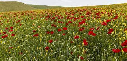 campo di papaveri montagne ismaillinskie. azerbaigian