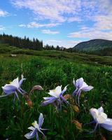 colorado aquilegia alpina foto