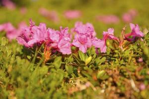 rododendro nel parco nazionale di piatra craiului, romania foto