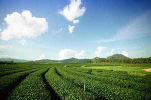 montagna del tè