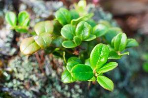 foglie giovani di mirtillo foto