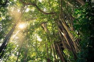 luce solare attraverso un albero di banyan foto