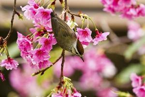 Yuhina taiwanese con fiori rosa foto
