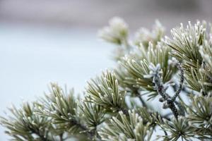 primo piano del pino con gelo