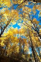 alberi di pioppo autunno