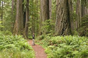 alberi di sequoia con escursionista che osserva in su.