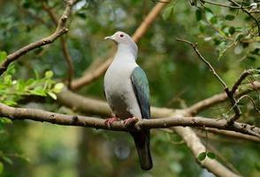 piccione imperiale verde (ducula aenea) foto