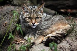 gatto selvatico europeo (felis silvestris silvestris). foto