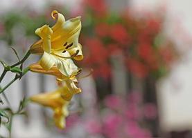 grande fiore di giglio di montagna giallo foto