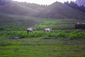 cavalli al pascolo in montagna