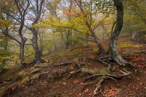 foresta di faggi nebbiosa in autunno nebbioso