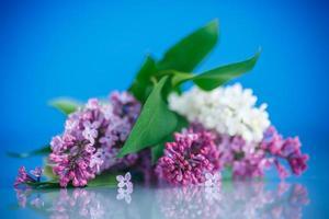 lilla in fiore foto