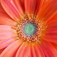 fiore di gerber.