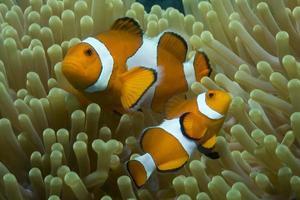 pesce pagliaccioinanemone foto