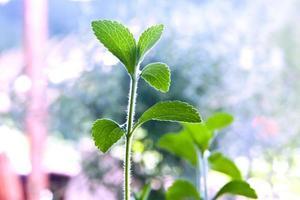 pianta di stevia foto