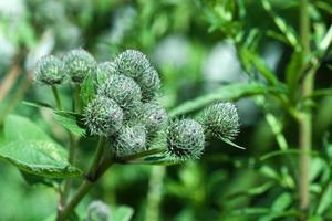 pianta di bardana foto