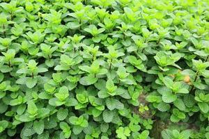 piante di menta foto