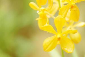 piante di orchidee gialle foto