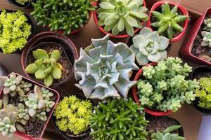 piante succulente in miniatura foto