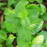 pianta di menta - tè ed erbe