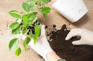 giardinaggio domestico trasferendo pianta della casa foto