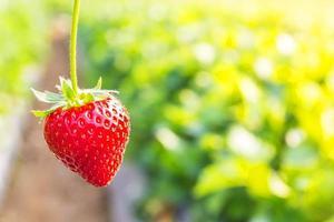 fragola con piantagione di fragole sfondo foto