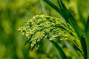 anteprima sfondo verde miglio pianta campo foto