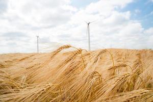piante di cereali, orzo, con focus diverso foto