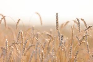 pianta di campo di agricoltura di grano o segale