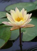 loto giallo bianco