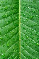 Close up di foglia verde con gocce d'acqua per lo sfondo foto