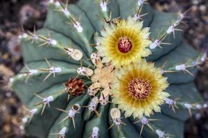 primo piano di due fiori di un cactus foto