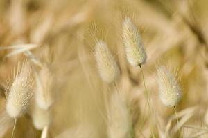 pianta di cereali da vicino foto