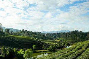altopiano della pianta del tè verde