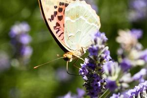 bella farfalla seduta su piante di lavanda