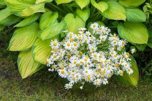 bouquet di camomille presso la pianta hosta gialla foto