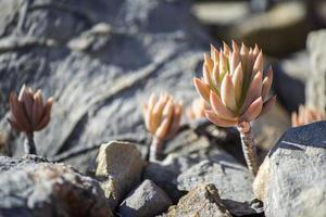 sedum sediforme, una pianta fiorita della famiglia delle crassulaceae foto