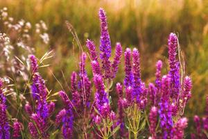salvia salvia fiore giardino pianta natura viola verde estate beaut