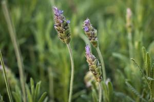 lavendel (lavendula angustifolia)