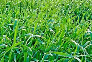 gocce di rugiada mattutina sull'erba verde foto